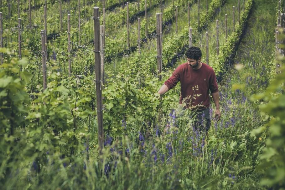 Vineyard in Fiè South Tyrol