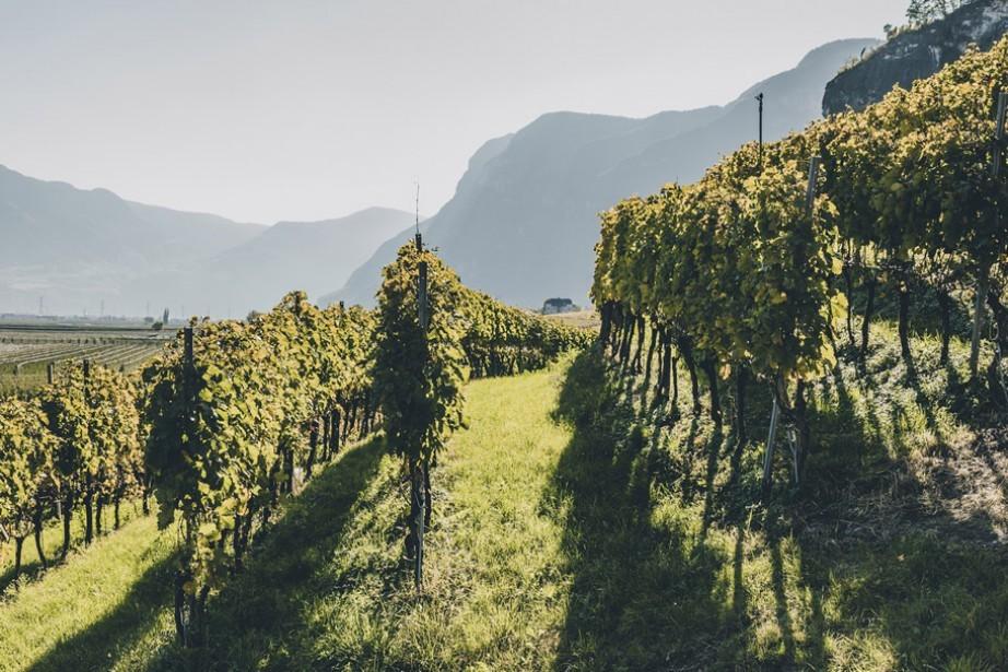 Vineyard in Cortaccia South Tyrol