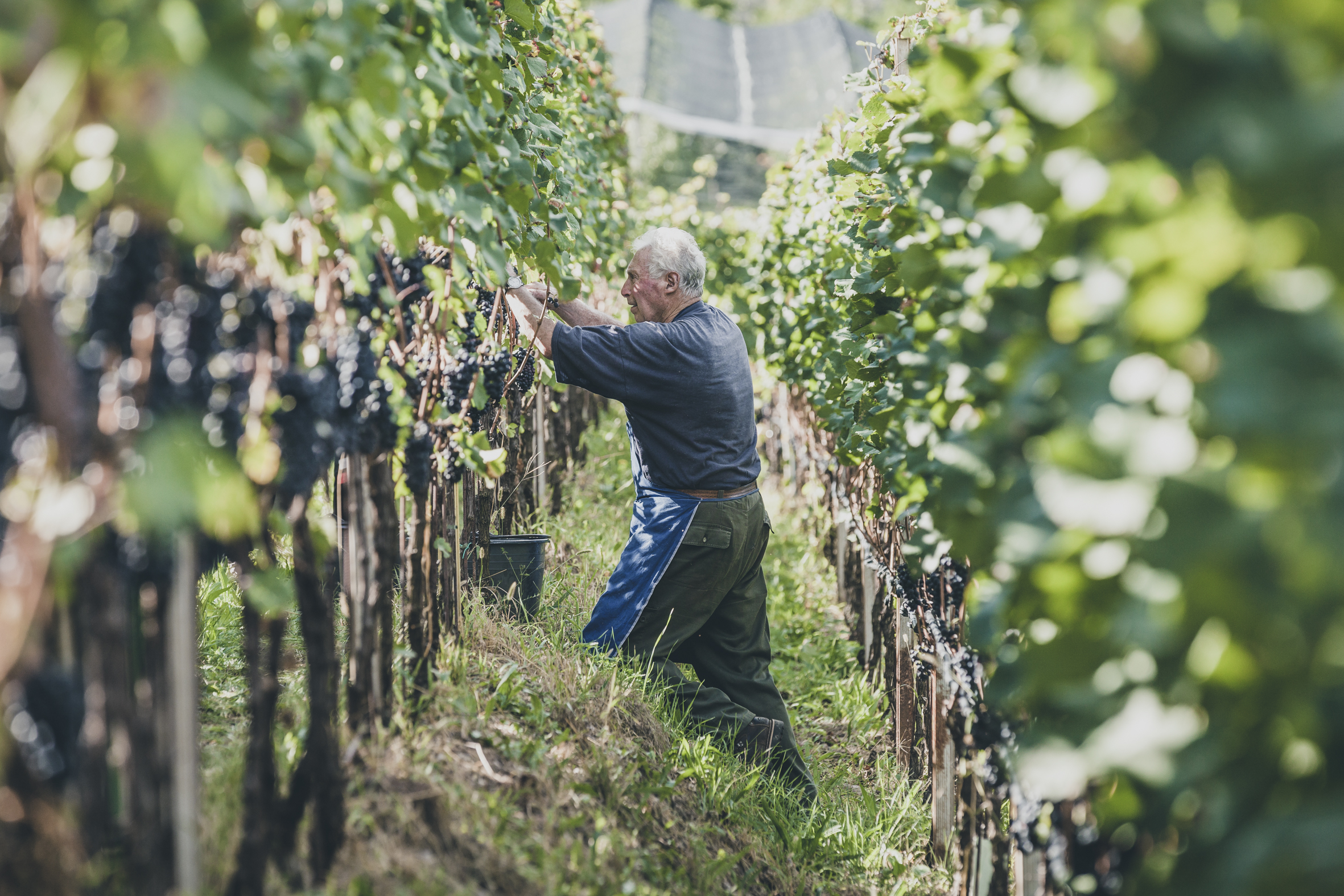 Wine harvest 2016 South Tyrol