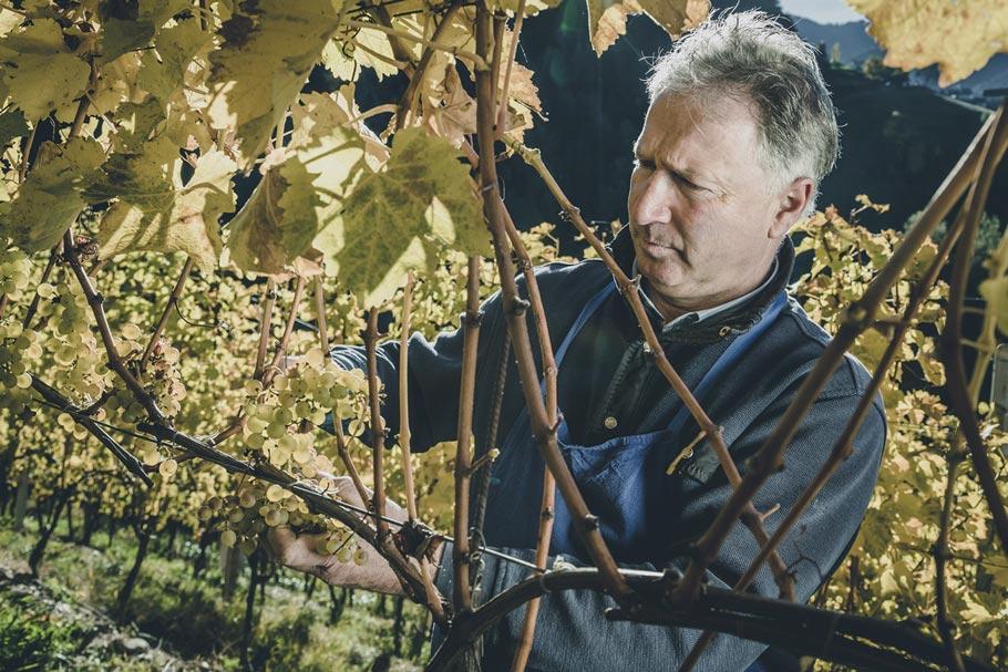 Klaus Pfitscher Weinrebe