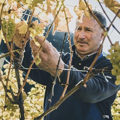 Klaus Pfitscher raccolta vino