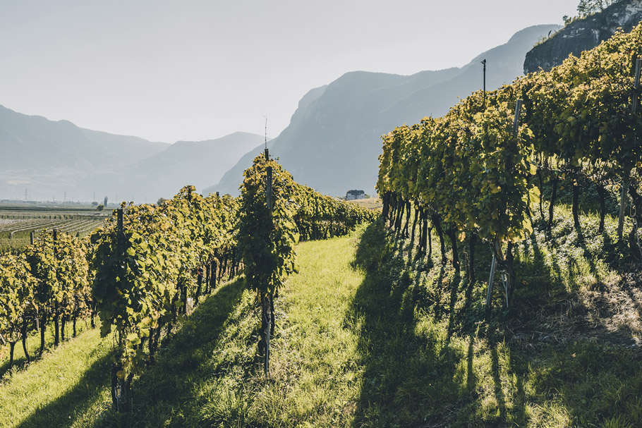 Vineyard in Cortaccia South Tyrol