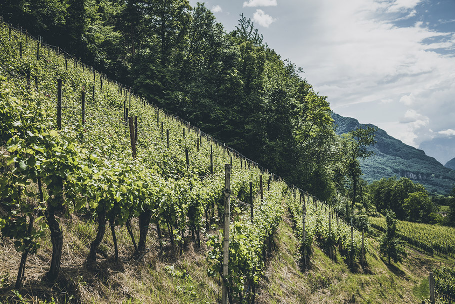 Vineyard in Montagna South Tyrol