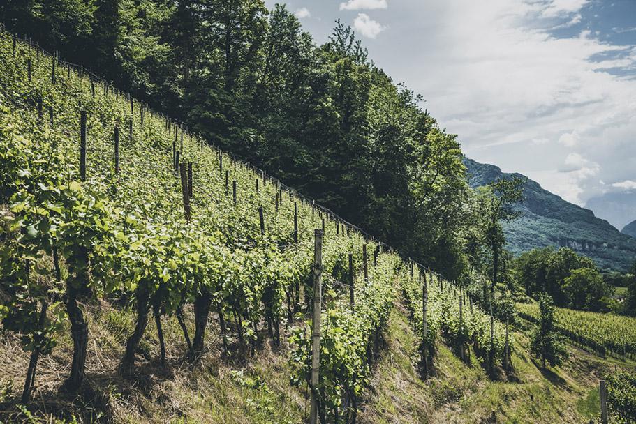 Weinberg Montan Südtirol