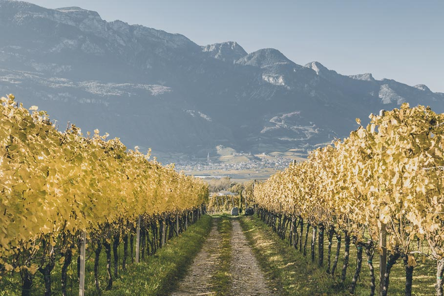 Vineyard in Egna South Tyrol
