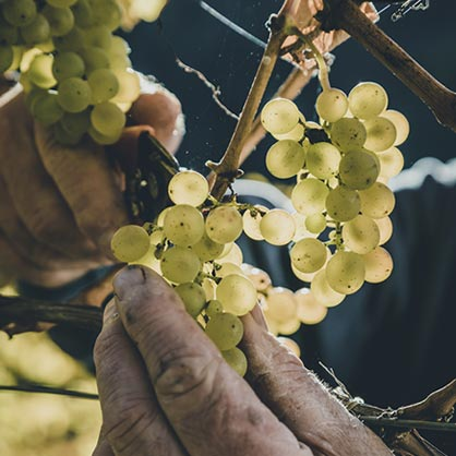 Bunch of grapes and hand